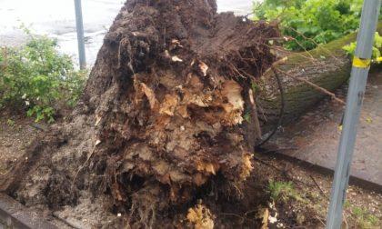 Maltempo, cade albero davanti al Duomo di Montebelluna