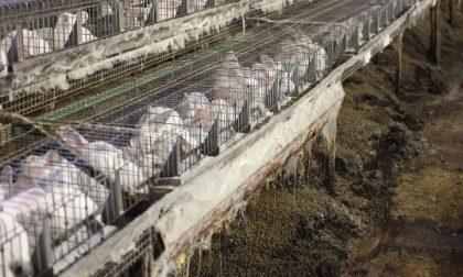 Sequestrato allevamento di conigli a Volpago
