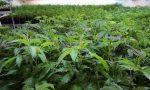 Coltivava marijuana nel giardino di casa sua, arrestato 43enne