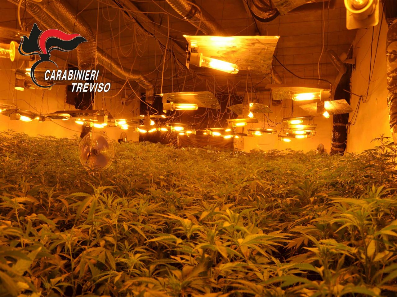 Rubavano energia elettrica per una maxi piantagione di marijuana: arrestati quattro cinesi a Montebelluna