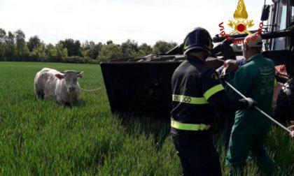 Toro di 4 quintali scappa a Salgareda: narcotizzato e riportato in stalla