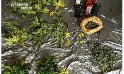 """Coltivazione """"particolare"""" nel boschetto vicino casa: 54enne di Sarmede denunciato"""
