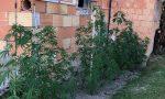 """Piantagioni di marijuana """"domestiche"""": arresto e denuncia dei Carabinieri di Castelfranco – FOTO"""