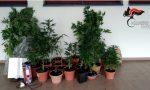 Era disoccupato e allora si dedicava alla coltivazione di marijuana: arrestato 56enne di Cappella Maggiore