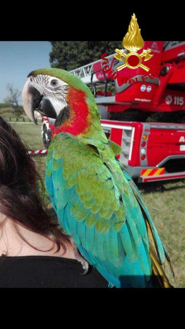 Zero Branco, pappagallo in fuga sull'albero: recuperato dai Vigili del fuoco