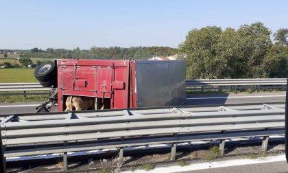 Camion con animali si ribalta sulla Statale: quattro bovini morti. Erano dell'azienda agricola di Gerolimetto