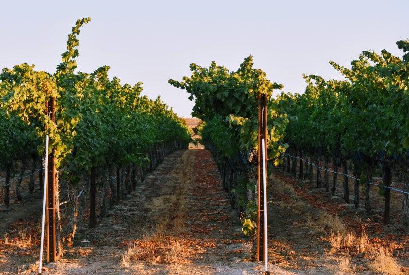 L'azienda trevigiana che insegna ai francesi come piantare le vigne