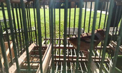 Operazione anti bracconaggio a Farra di Soligo: salvati pettirosso e passera scopaiola