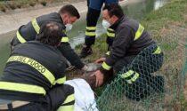 Piccolo capriolo incastrato rischia di affogare: salvato dai Vigili del fuoco
