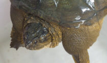"""La pericolosa tartaruga azzannatrice recuperata a Dosson ora """"abita"""" a Jesolo"""