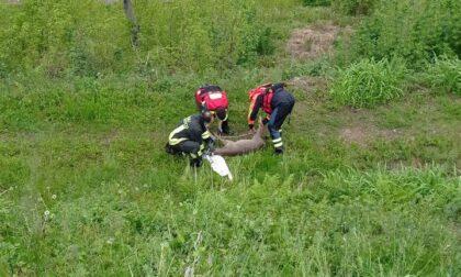 Capriolo ferito soccorso dai Vigili del fuoco: era caduto nel Brentella