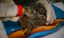 Centro di recupero Fauna selvatica della Provincia di Treviso: 500 animali salvati in un mese