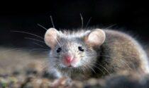Febbre del topo, primo caso sospetto nella zona di Vittorio Veneto