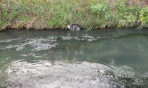 Husky fugge e finisce sul Muson, salvato dai poliziotti