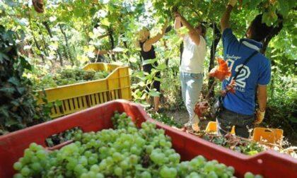 Focolaio Covid nell'azienda vitivinicola, i positivi ora sono cinque